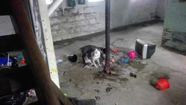 dogs chained up in attic and basement