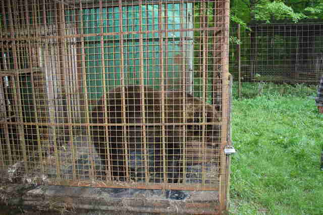 Bear at hunting station in Ukraine
