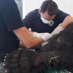 Bear getting medical treatment after getting rescued from hunting station in Ukraine