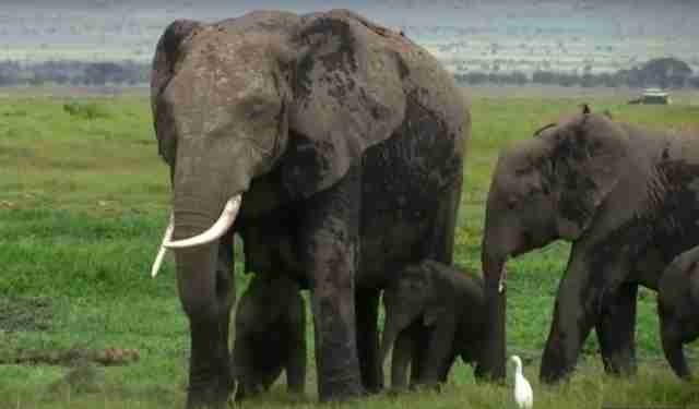 rare elephant twins birth