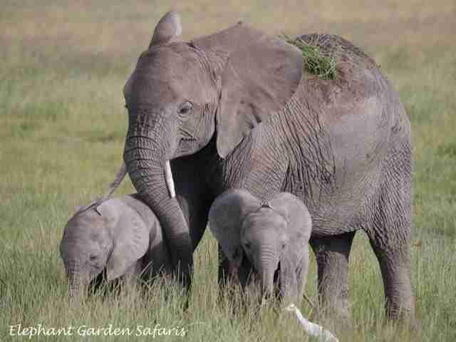 elephant twins kenya