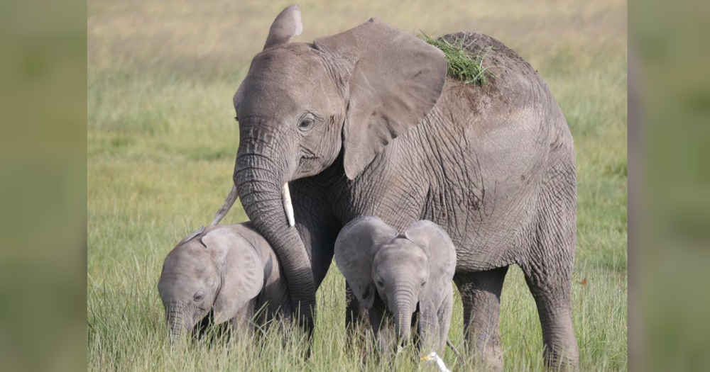 Wild Elephant Mom Delivers Once-In-A-Lifetime Surprise