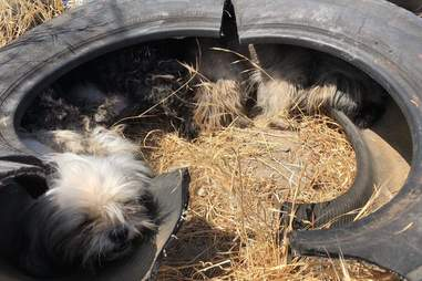 Three dogs snuggle inside a tire