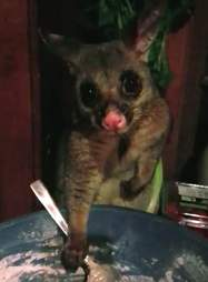 Wild possum stealing from pasta bowl