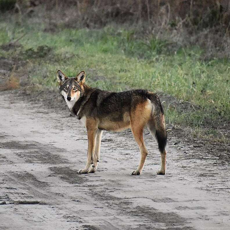 Red wolf standing on a road