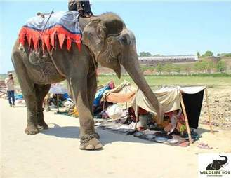 begging street elephant rescue raju