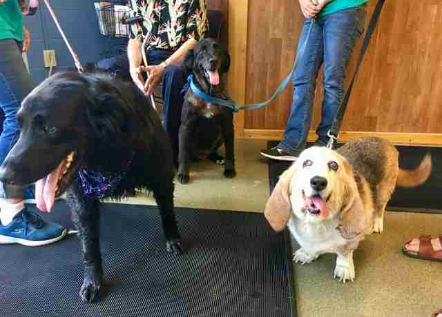 Donnie and Marie meet their new basset hound sister