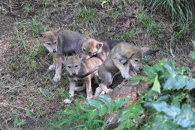 Red wolf pups