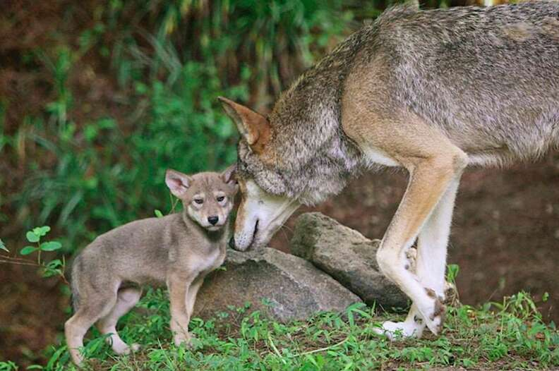 Red wolf adult and pup