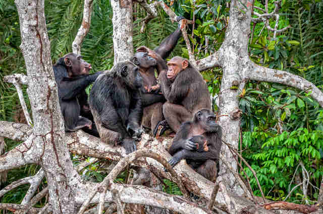 chimpanzees the congo