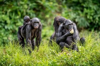bonobo congo endangered