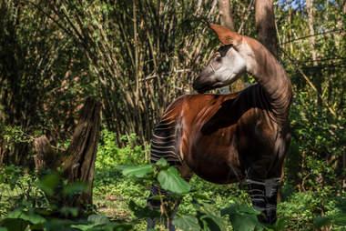 okapi endangered congo