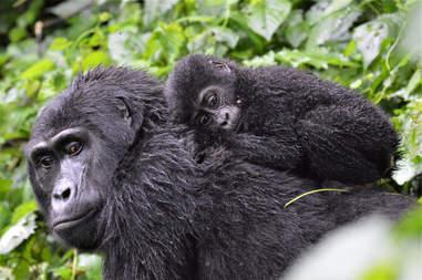 mountain gorilla congo