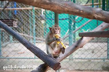 Macaque saved from being someone's pet in Thailand