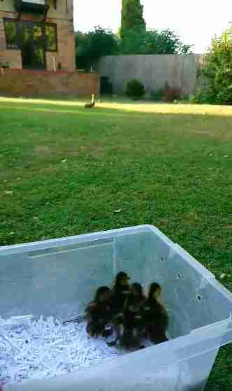 duck loses her ducklings