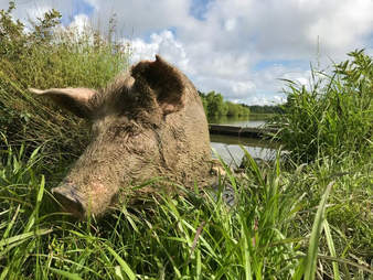 Injured pig in grass at sanctuary