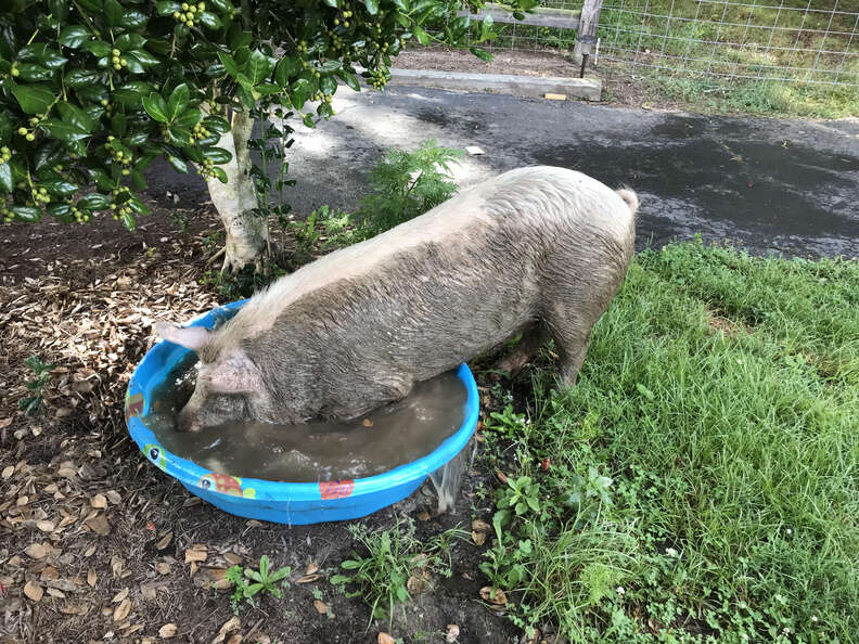 Injured pig trying to fit inside kiddie pool