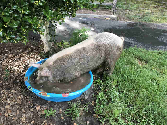 Injured pig trying to fit inside kiddie pool