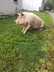 Pig sitting in grass