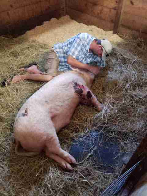 Man with injured pig inside barn