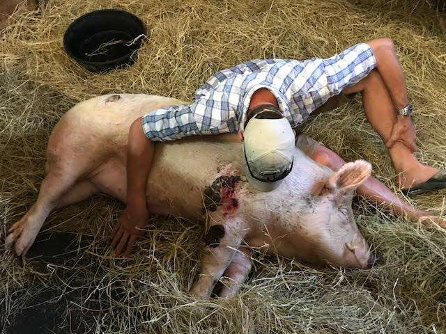 Man with injured pig in barn