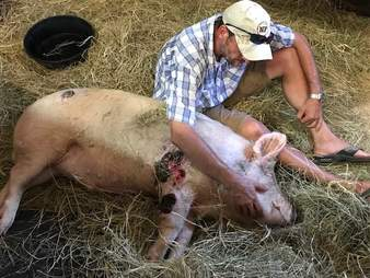 Man with injured pig