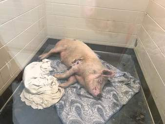 Pig inside kennel at shelter