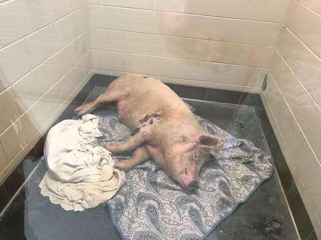 Pig inside kennel at shelter