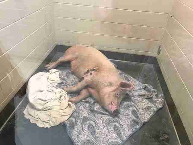 Pig Who Ran For Hours To Save His Life Falls In Love With Man Who Helped Him