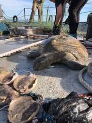 Animals killed in gillnets