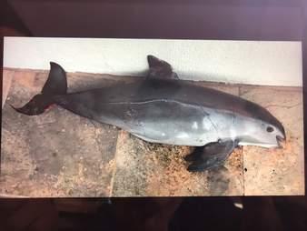 Vaquita porpoise killed in gillnet