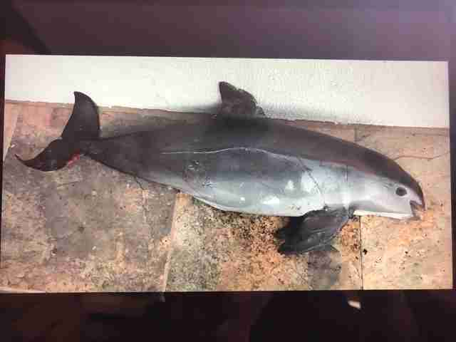 Vaquita porpoise killed in gillnet
