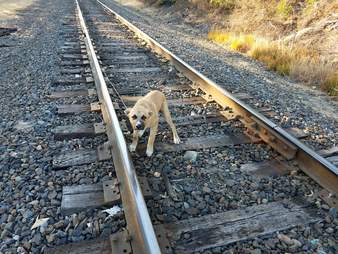 dog rescue railroad tracks