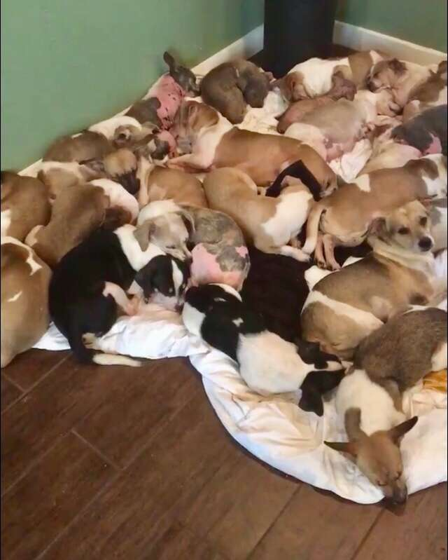 Chihuahua dogs lying on blanket on floor