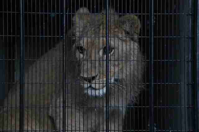Lion saved from Paris apartment on his way to Africa sanctuary