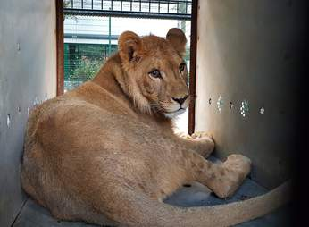 Lion saved from Paris suburb