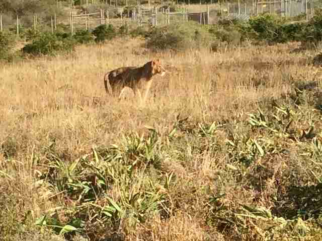 Lion saved from Paris apartment arrives at Africa sanctuary
