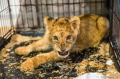 Lion cub found in Paris apartment