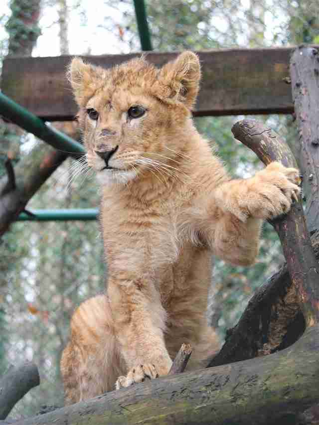 Lion cub saved from Paris apartment