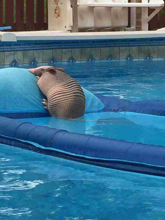 armadillo spotted lounging on a floaty in family s swimming pool