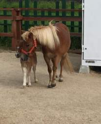 Leaf, a miniature horse, and her colt, Earth