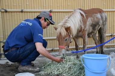 Leaf the mini horse enjoying some hay