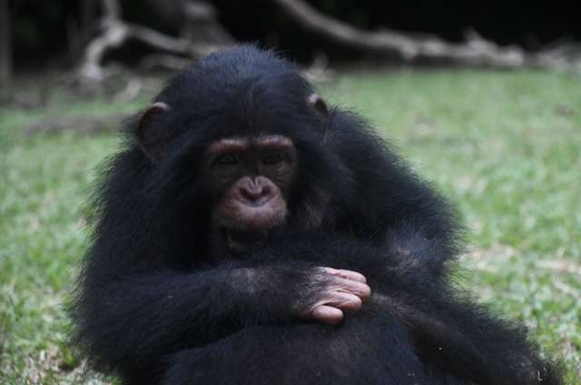 Baby Chimp Survives Bullet That Killed His Family - The Dodo