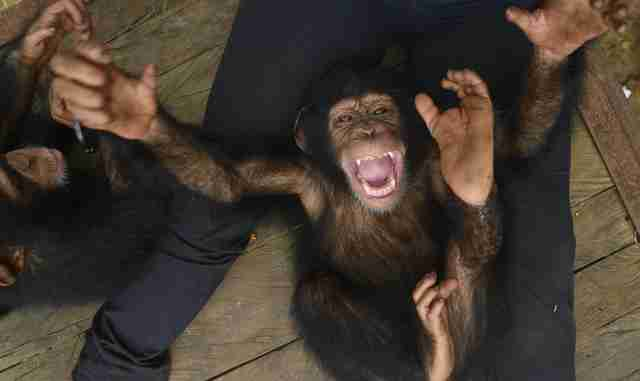 Baby chimp saved from wildlife traffickers in Liberia