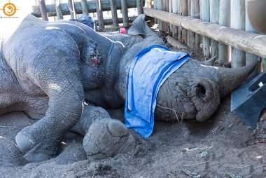 Wild black rhino shot by poachers in South Africa