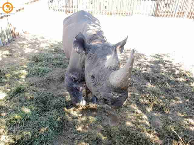 Wild black rhino shot by poachers in South Africa