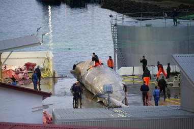 Whale being processed at whaling station