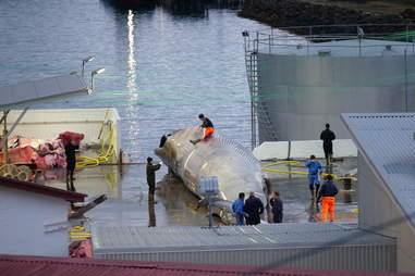 Whale being cut up into parts