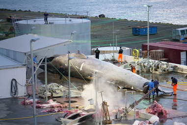 Whalers cutting up whale into parts