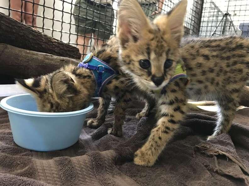serval cat kittens